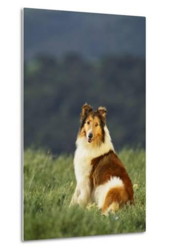 Collie Sitting in a Meadow-DLILLC-Metal Print