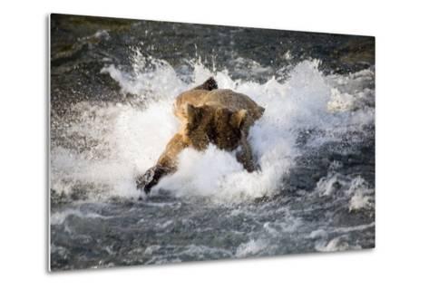 Brown Bear Dives into Brooks River for Salmon Katmai National Park Southwest Alaska Summer-Design Pics Inc-Metal Print