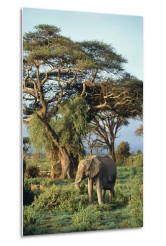 African Elephant-DLILLC-Metal Print