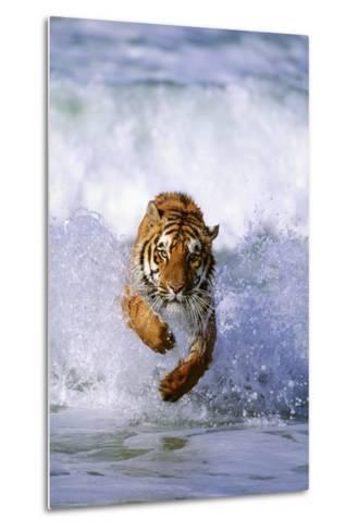 Tiger Running in Surf-DLILLC-Metal Print