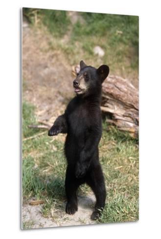 Young Black Bear Cub Standing Upright Captive Alaska Wildlife Conservation Center Summer-Design Pics Inc-Metal Print