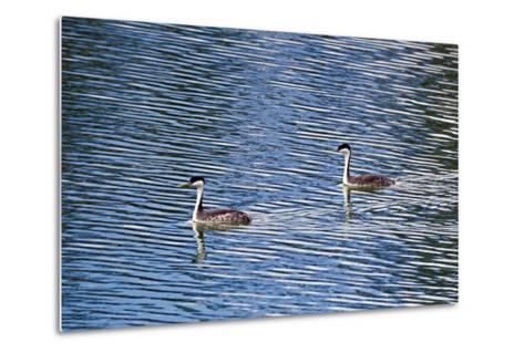 Two Western Grebes, Aechmophorus Occidentalis, Swimming-Robbie George-Metal Print