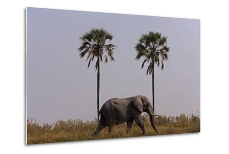 Elephant Walking Centered Between Two Palms in Northern Botswana-Beverly Joubert-Metal Print