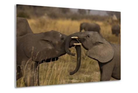 Two Young Elephants Play Sparring in Northern Botswana-Beverly Joubert-Metal Print