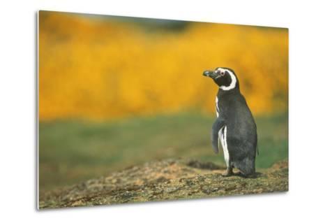 Magellanic Penguin-DLILLC-Metal Print