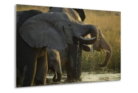 Close Up Elephant Herd Drinking in Spillway in Northern Botswana-Beverly Joubert-Metal Print