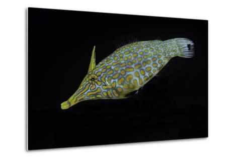 Oxymonacanthus Longirostris (Harlequin Filefish, Longnose Filefish, Orangespotted Filefish)-Paul Starosta-Metal Print