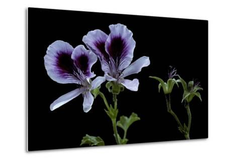 Pelargonium X Domesticum 'Spring Park' (Regal Geranium)-Paul Starosta-Metal Print