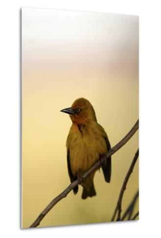 Close Up of a Cape Weaver Bird in South Africa-Keith Ladzinski-Metal Print