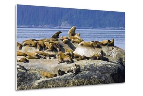 Steller Sea Lions on Haulout South Marble Island Glacier Bay National Park Southeast Alaska Summer-Design Pics Inc-Metal Print