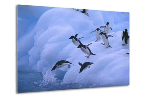 Adelie Penguins Jumping into Water-DLILLC-Metal Print