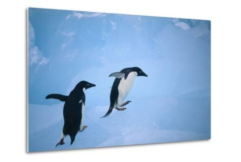 Adelie Penguins Climbing Ice Floe-DLILLC-Metal Print