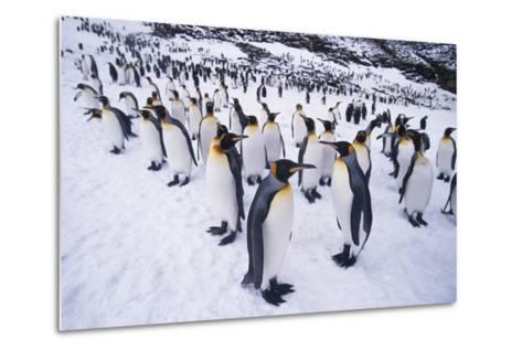 King Penguins Standing in Snow-DLILLC-Metal Print