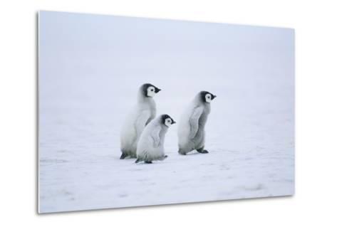 Young Emperor Penguins-DLILLC-Metal Print