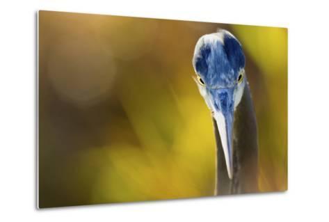 Great Blue Heron, Close Up Portrait-Ken Archer-Metal Print