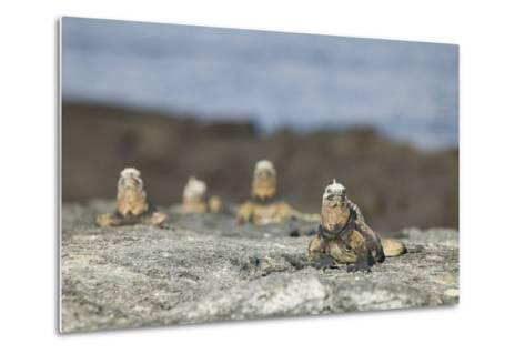 Marine Iguanas Relaxing on a Rock-DLILLC-Metal Print