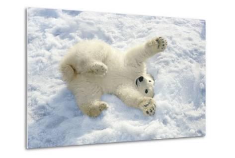 Polar Bear Cub Playing in Snow Alaska Zoo-Design Pics Inc-Metal Print