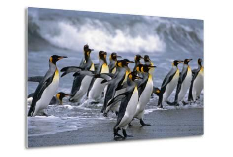 Group of King Penguins Walking in Surf on Beach South Georgia Island Antarctic Summer-Design Pics Inc-Metal Print