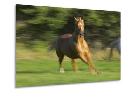 Quarter Horse Galloping-DLILLC-Metal Print