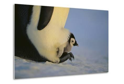 Emperor Penguin Protecting Offspring from the Cold-DLILLC-Metal Print