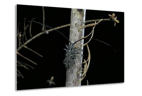 Monochamus Sartor (Sakhalin Pine Beetle)-Paul Starosta-Metal Print