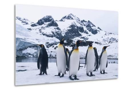 King Penguins Looking in All Directions-DLILLC-Metal Print