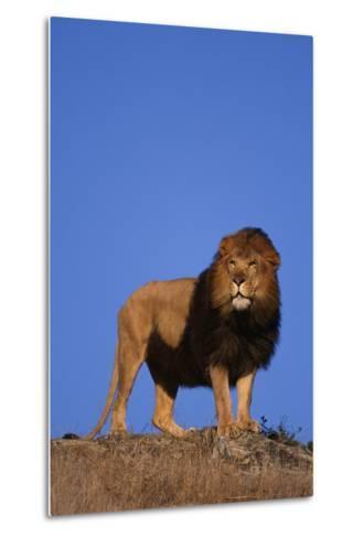African Lion-DLILLC-Metal Print