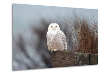 A Snowy Owl, Bubo Scandiacus, Perches on a Fence and Scans the Winter Landscape-Robbie George-Metal Print
