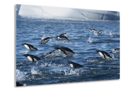 Adelie Penguins Swim in a Group Off of Paulet Island-Jim Richardson-Metal Print