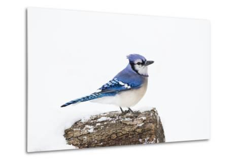 Wichita County, Texas. Blue Jay, Cyanocitta Cristata, Feeding in Snow-Larry Ditto-Metal Print
