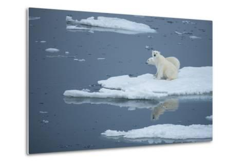 A Polar Bear and Cub on Pack Ice-Michael Melford-Metal Print