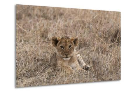 Portrait of a Lion Cub, Panthera Leo, Lying in the Grass-Sergio Pitamitz-Metal Print
