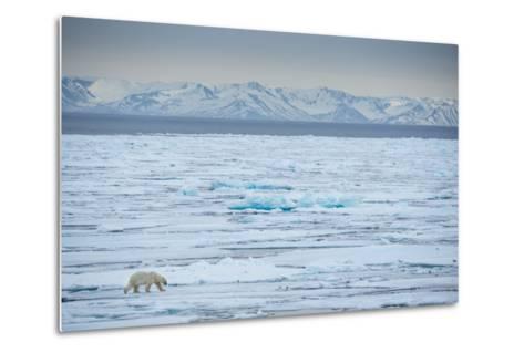 A Lone Polar Bear Traverses the Pack Ice on Hinlopen Strait-Michael Melford-Metal Print