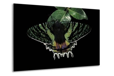 Chrysiridia Croesus (East African Sunset Moth)-Paul Starosta-Metal Print