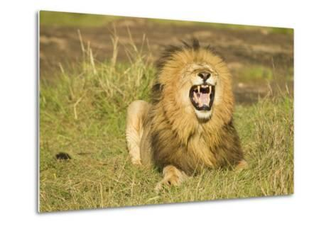 African Male Lion-Mary Ann McDonald-Metal Print