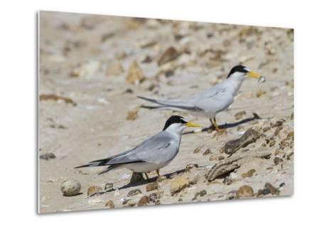 Port Isabel, Texas. Least Tern Beside Egg at Nest Colony-Larry Ditto-Metal Print