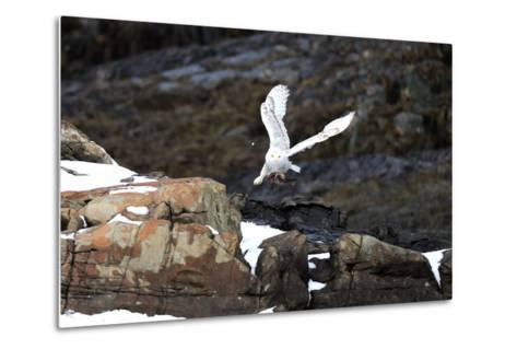 A Snowy Owl, Bubo Scandiacus, Flies over the Maine Coastline with a Meal in its Talons-Robbie George-Metal Print