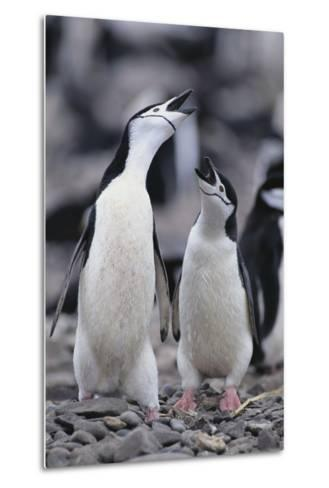 Young Chinstrap Penguins-DLILLC-Metal Print