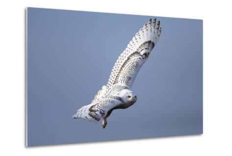 A Snowy Owl, Bubo Scandiacus, Flies over the Wintry Coast of Maine-Robbie George-Metal Print