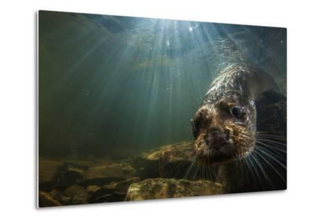 A Female Otter Swims in a River in Western England-Charlie Hamilton James-Metal Print