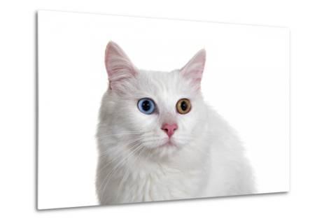 Turkish Van Cat with Different Color Eyes-Fabio Petroni-Metal Print
