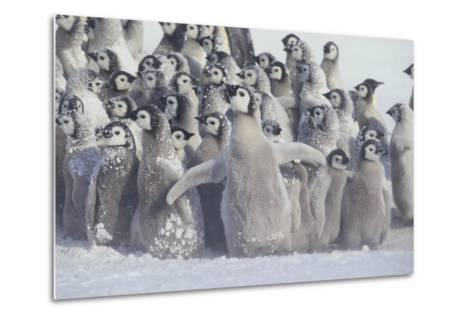 Young Emperor Penguins Covered in Snow-DLILLC-Metal Print