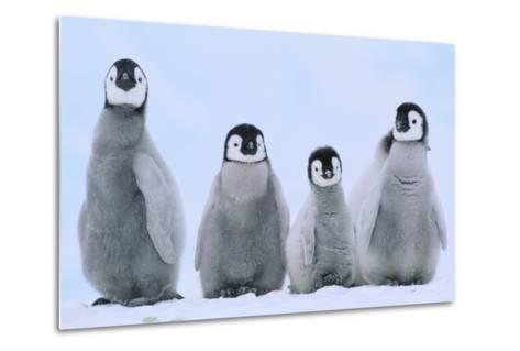 Young Emperor Penguins-DLILLC-Metal Print