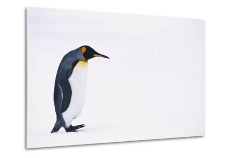 King Penguin-DLILLC-Metal Print