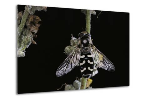 Scaeva Pyrastri (Hoverfly)-Paul Starosta-Metal Print