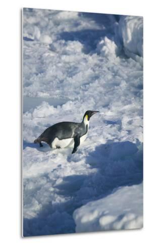 Emperor Penguin on His Belly-DLILLC-Metal Print