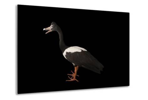 A Magpie Goose, Anseranas Semipalmata, at the Kansas City Zoo-Joel Sartore-Metal Print