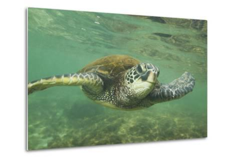 Green Sea Turtle-DLILLC-Metal Print