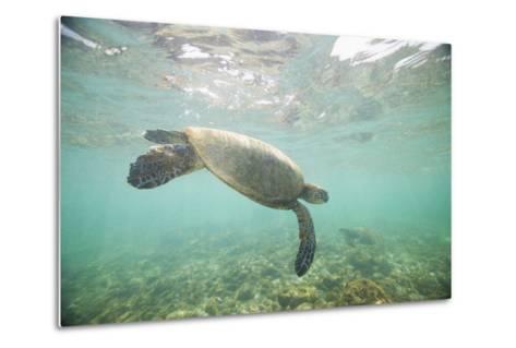 Green Sea Turtle Swimming in Shallow Water-DLILLC-Metal Print
