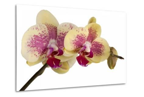 Phalaenopsis Ibrid-Fabio Petroni-Metal Print